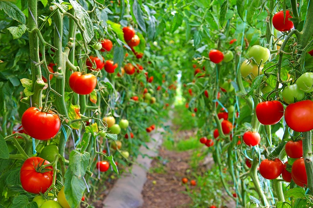 トマト農園